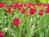 Flarey-edged tulips